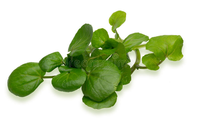 Watercress. Pictured watercress in a white background royalty free stock photos