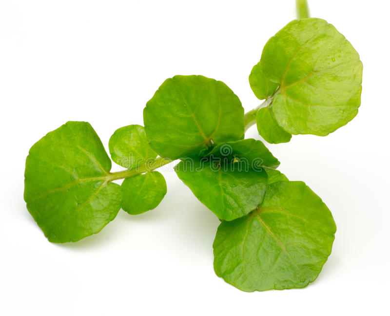 Watercress. Pictured watercress in a white background stock photos