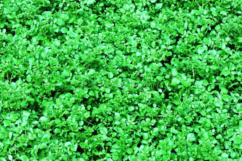 Watercress Plants Royalty Free Stock Photography