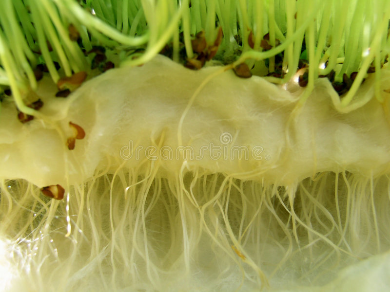 Watercress - roots stock photography