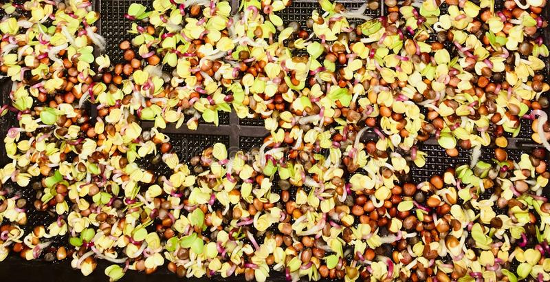 Watercress seeds germinating. royalty free stock photos