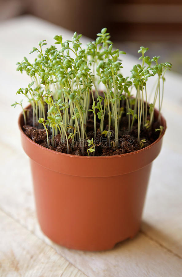 Watercress sprouts in the pot. On the wooden table stock image