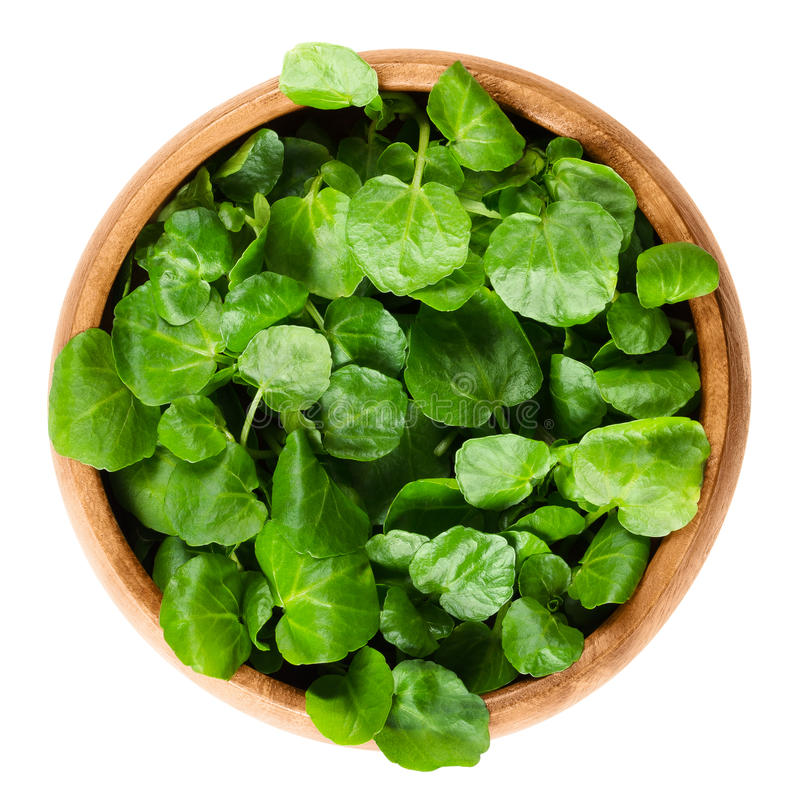Watercress in wooden bowl over white. Watercress in wooden bowl. Nasturtium officinale, an edible green aquatic plant and leaf vegetable, used in salads or in stock photography