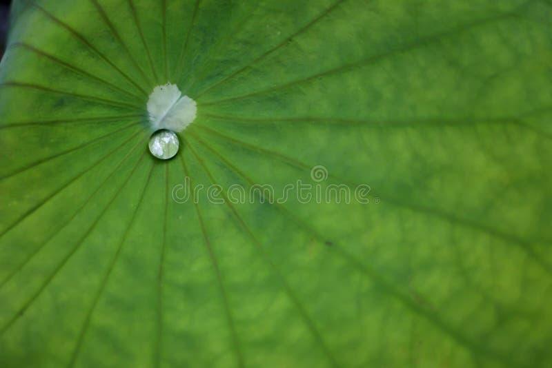 Waterdaling op een groen lotusbloemblad Groene textuurachtergrond royalty-vrije stock foto