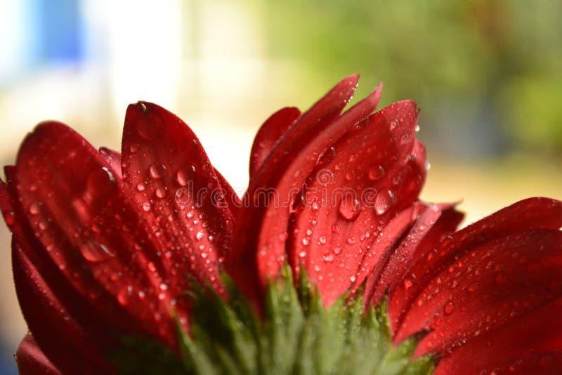 Waterdaling op rode bloem royalty-vrije stock foto's