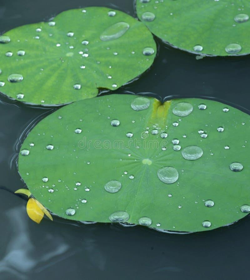 Waterdalingen op de lotusbloembladeren stock foto