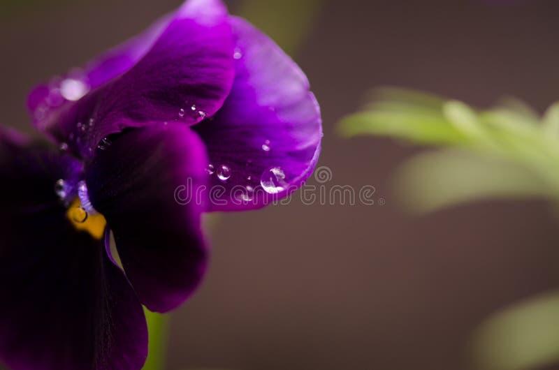 Waterdalingen op een mooie bloemaltviool royalty-vrije stock afbeelding
