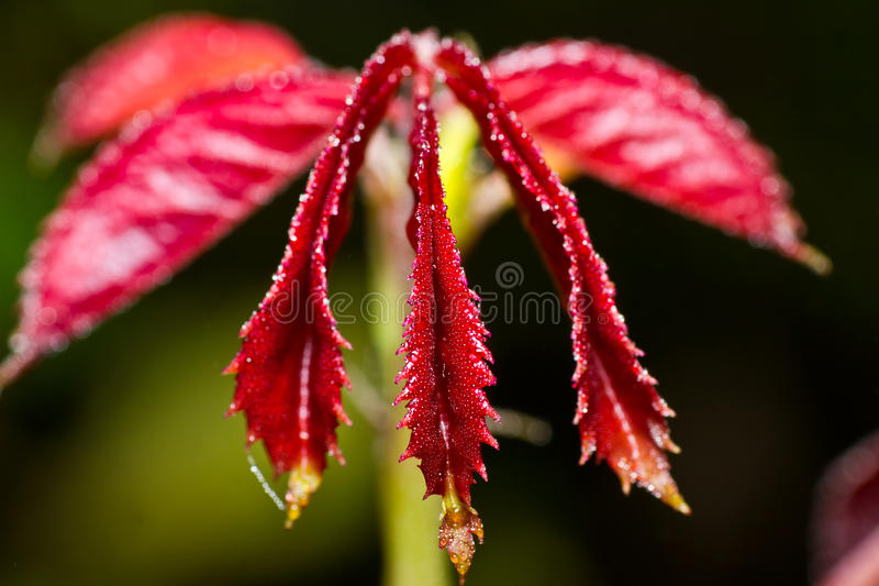 Waterdalingen op rode leaf royalty-vrije stock fotografie