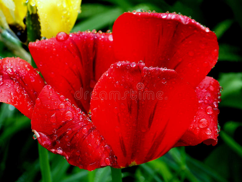 Waterdalingen op rode tulp stock foto