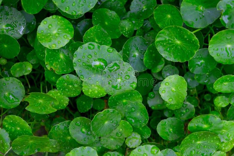 Waterdalingen op Water pennywort bladeren stock foto's
