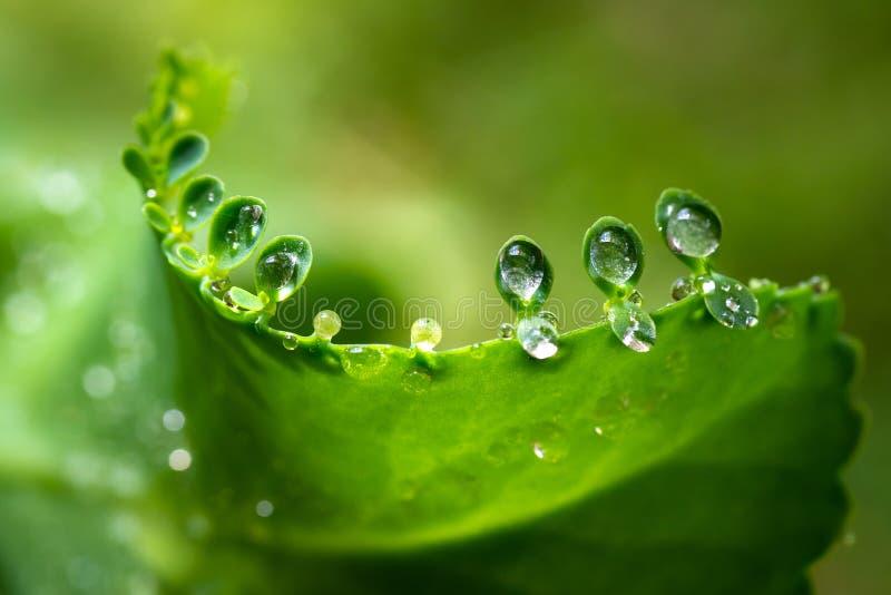 Waterdauw op kleine bladeren van bryophyllumpinnatum royalty-vrije stock afbeelding