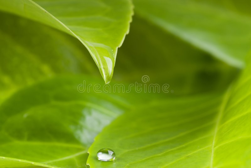 Waterdrop from leaf. Waterdrop on and from leaf stock photography
