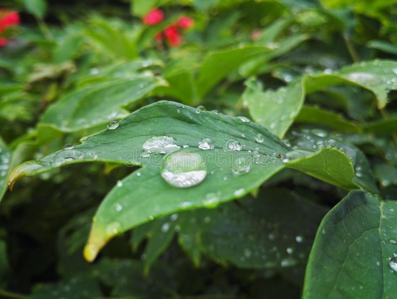 Waterdrop on leaf. After a rainy day stock photography