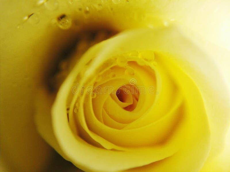waterdrop sulla rosa di giallo fotografia stock