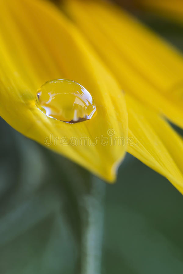 Waterdrop on a sunflower. Single waterdrop on a sunflower, closeup royalty free stock photos