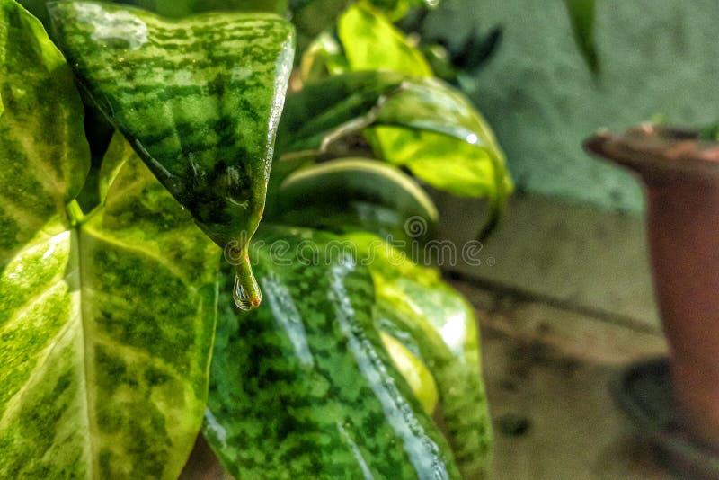 Waterdrop vom grünen leaft der Anlage lizenzfreies stockbild