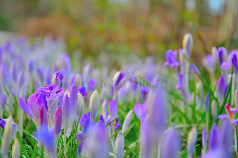 Waterdropplets στα μπλε λουλούδια Κρόκος στοκ φωτογραφία με δικαίωμα ελεύθερης χρήσης
