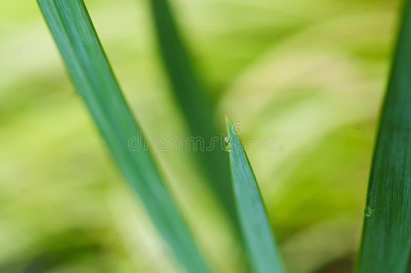 Waterdrops auf einem Reedblatt stockfotografie