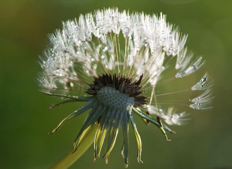 Waterdrops on dandelion royalty free stock image