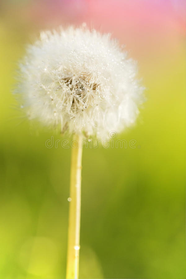Waterdrops on dandelion stock photos