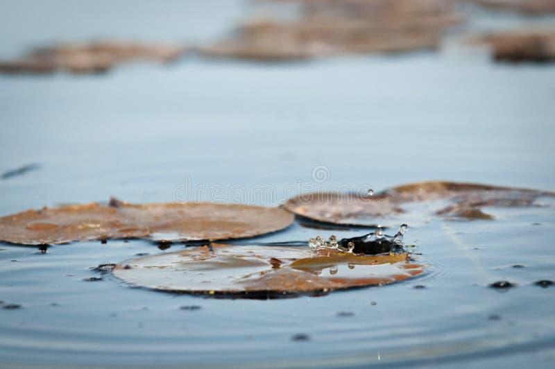 Waterdruppeltjes die in een Vijver bij Zonsondergang op Lelie vallen royalty-vrije stock afbeelding