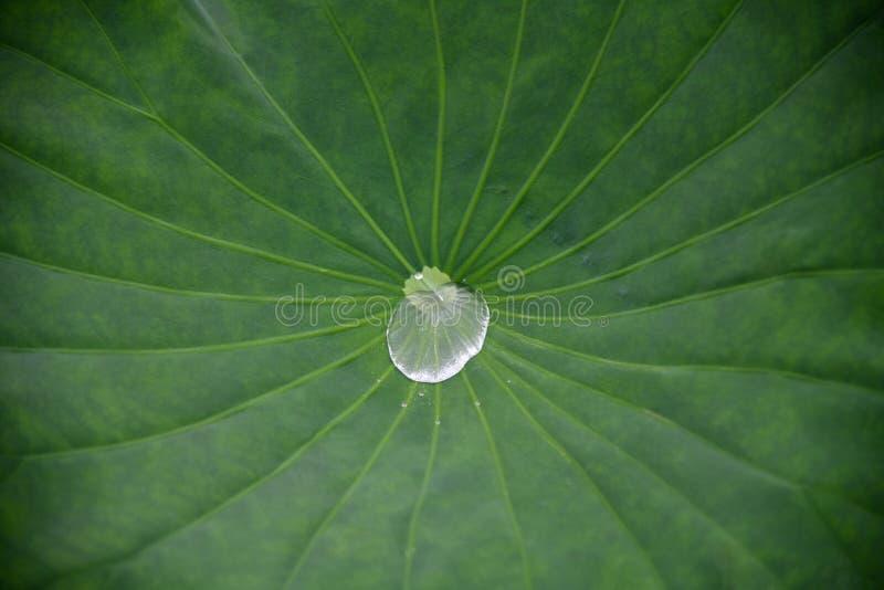 Waterdruppeltjes op groen lotusbloemblad De de groene textuur en achtergrond van het lotusbloemblad stock foto's