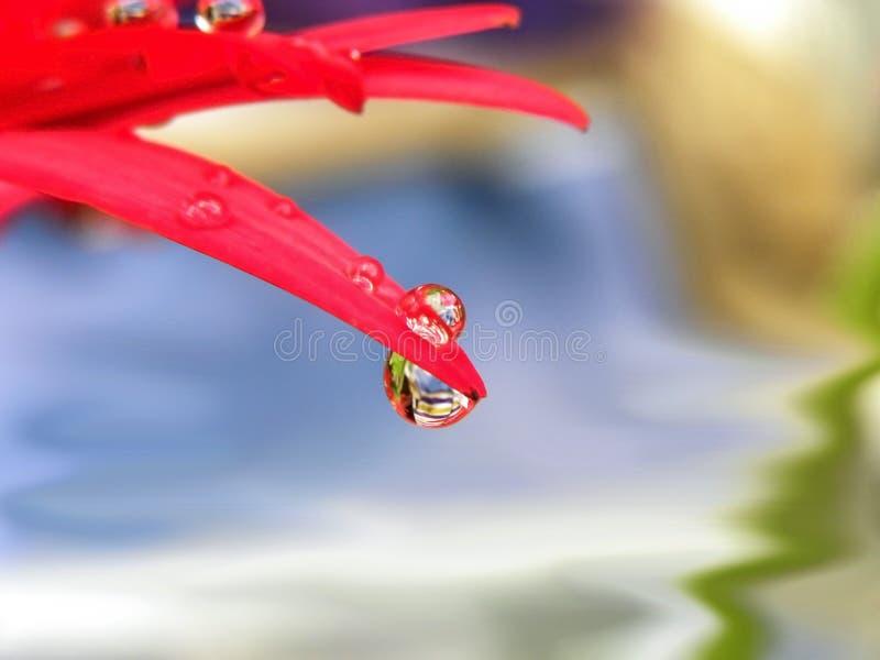 Waterdruppeltjes op rode bloemblaadjes royalty-vrije stock fotografie