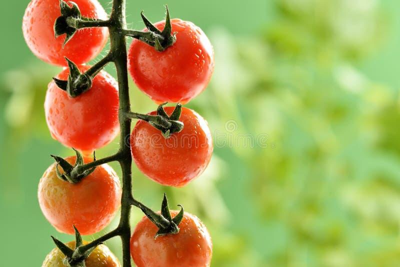 Waterdruppeltjes op Tomatenplant royalty-vrije stock afbeeldingen