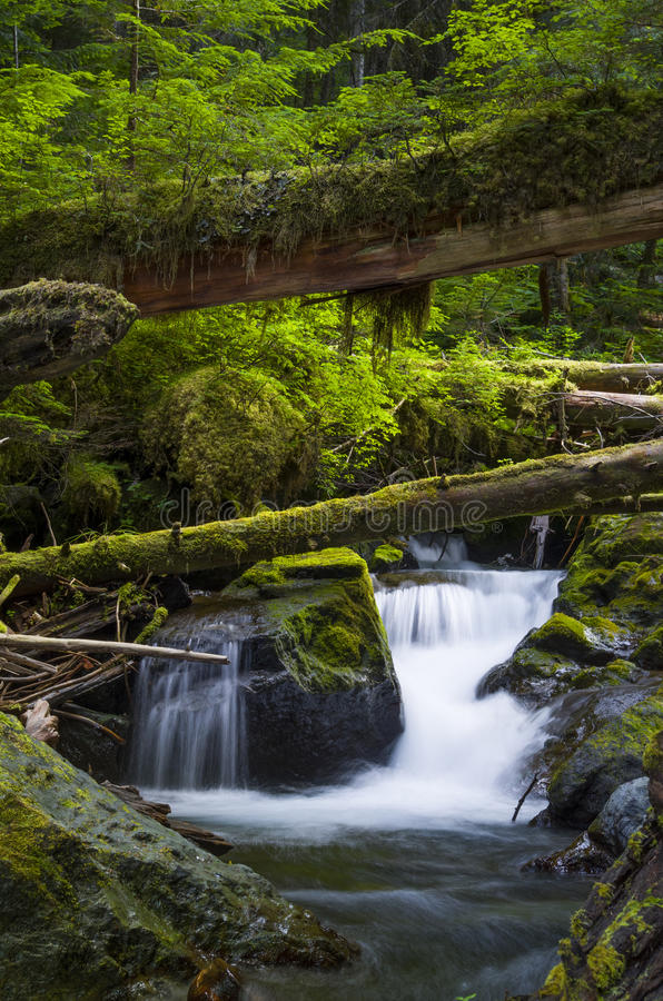 Waterfalls and fallen trees in forest Olympic National Forest Washington state. The Upper Quilcene River runs through the cool forest and over some small royalty free stock images