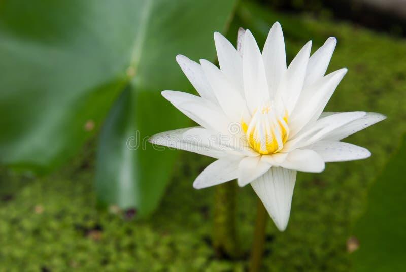 Waterflower белого лотоса стоковая фотография