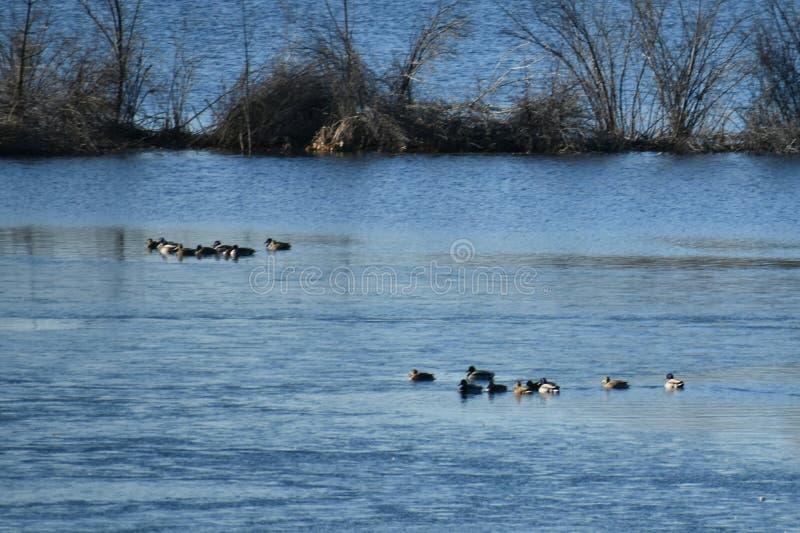 waterfowl photo stock