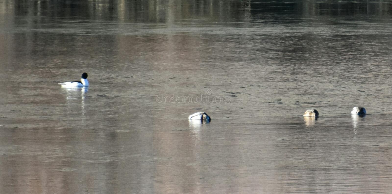 waterfowl photo libre de droits
