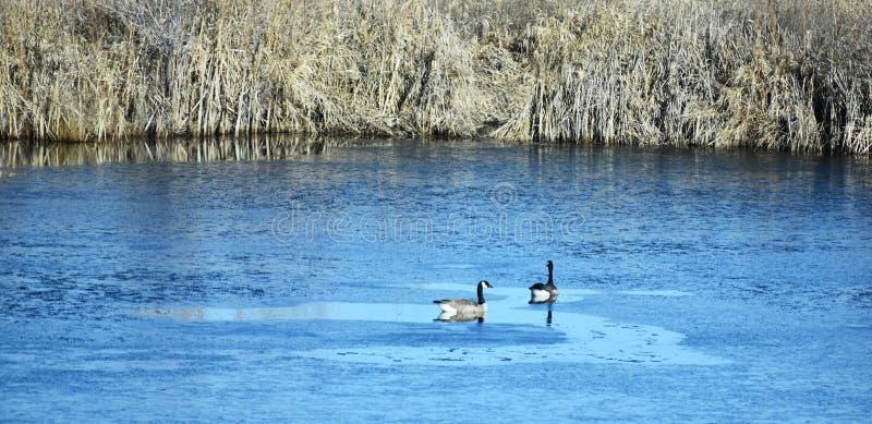 waterfowl photographie stock libre de droits