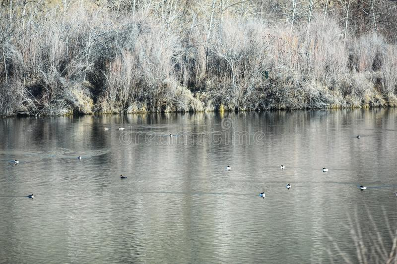 waterfowl images stock