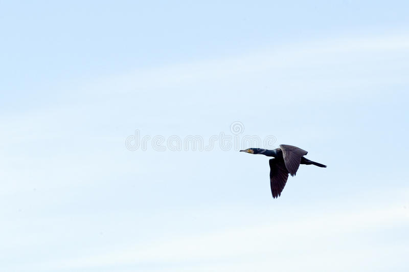 waterfowl photographie stock