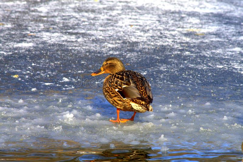 A big yellow duck with beautiful feathers is coming on the blue ice of a frozen lake in winter royalty free stock image