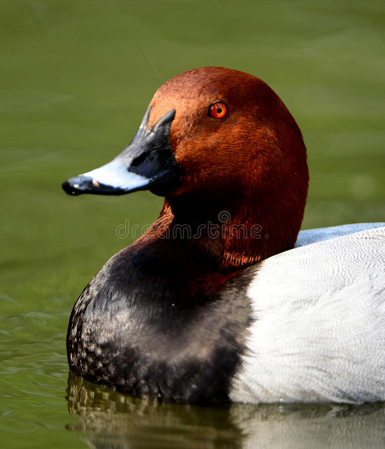 Download Waterfowl stock image. Image of decorative, illustration - 30877075