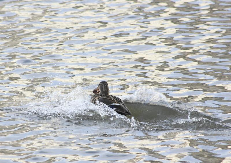 Waterfowl duck at high speed trying to swim away taking possession of a piece of bread royalty free stock photo