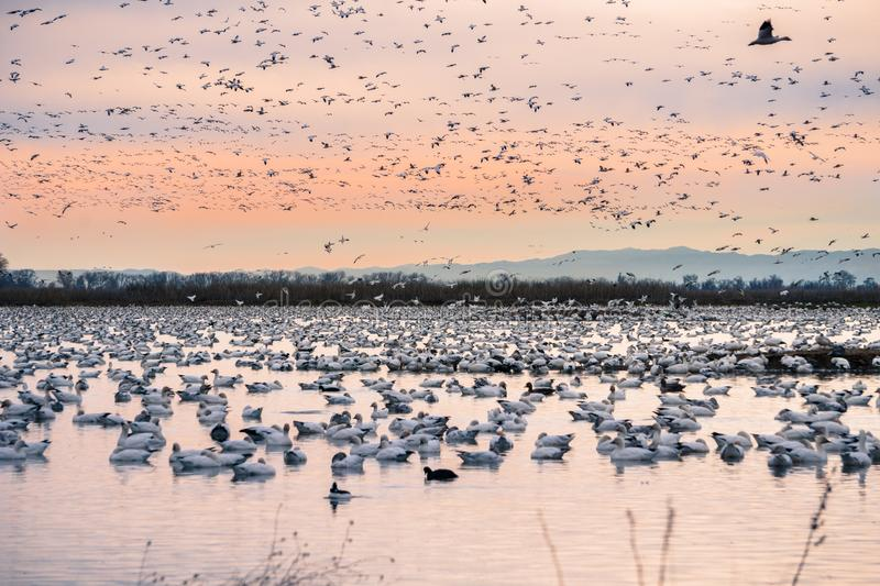 A flock of snow geese taking over the ponds of Sacramento National Wildlife Refuge during migration season, California royalty free stock image