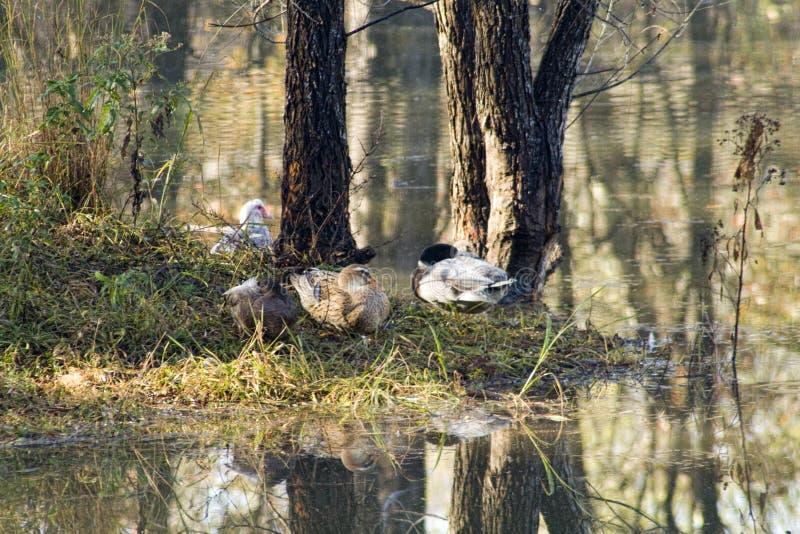 Waterfowl Sentada em uma Ilha por Lago em Morgan County Alabama foto de stock royalty free