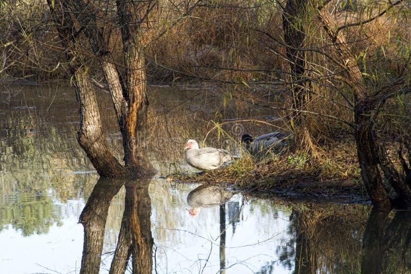 Waterfowl Sentada em uma Ilha por Lago em Morgan County Alabama fotos de stock royalty free