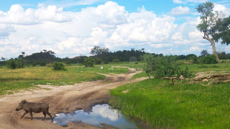 Waterhog sauvage dans le dédouanement de la réservation de faune du Botswana image libre de droits
