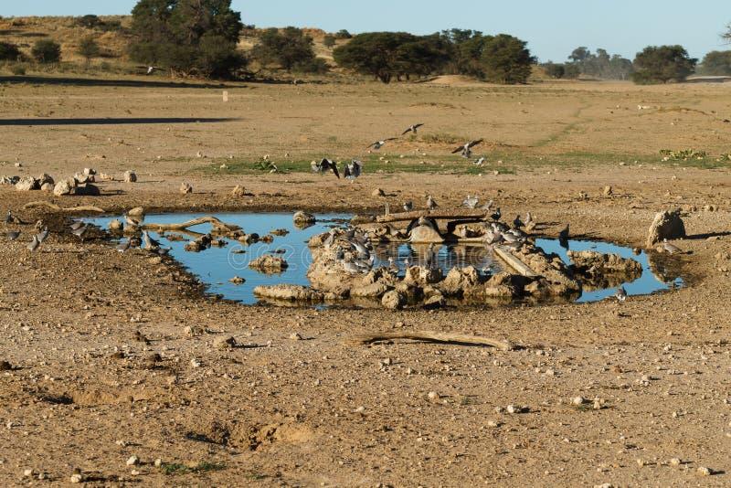 Waterhole на Kgalagadi стоковое фото