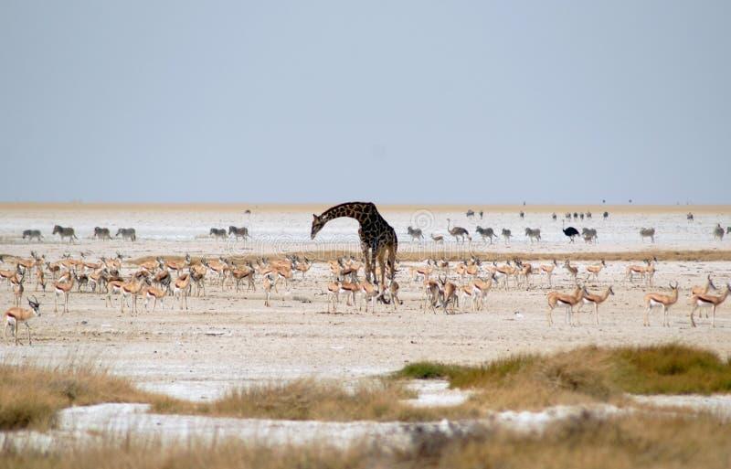 Waterhole с страусом, зеброй, жирафом и прыгуном стоковая фотография