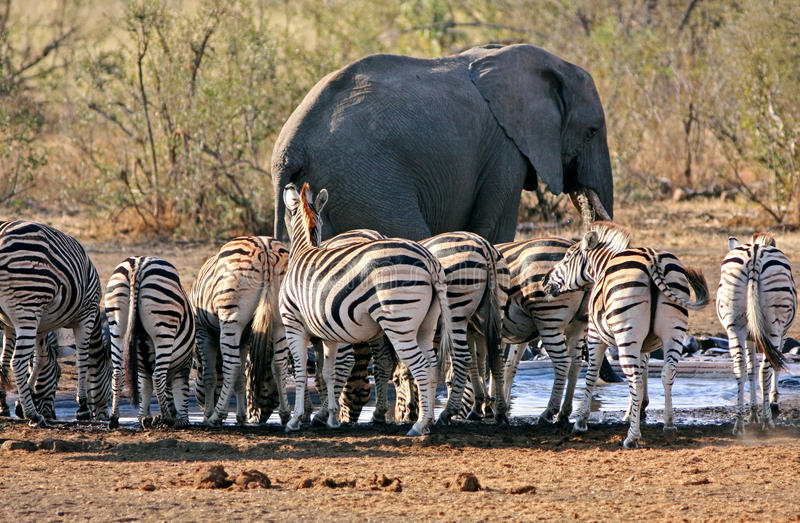 Waterhole congestion. Large elephant and zebra herd around a waterhole in game reserve royalty free stock photo
