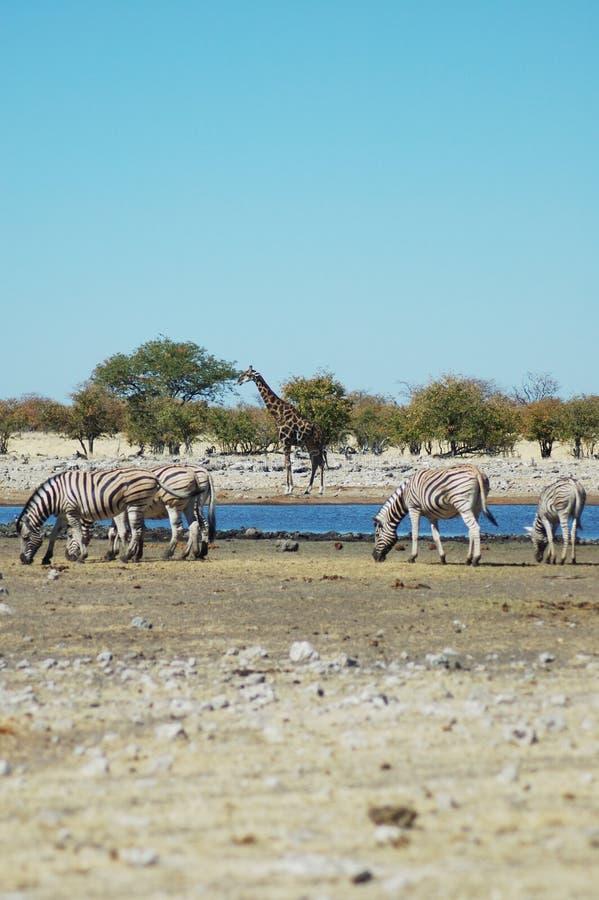Waterhole em Etosha imagens de stock royalty free