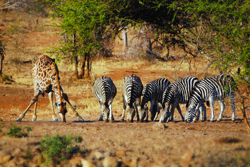 At a waterhole in South Africa. Griaffe (Giraffa camelopardalis) and a group of Burchell's Zebras (Equus burchellii) drinking at a water hole (South Africa
