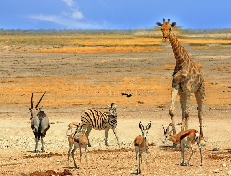 Waterhole vibrante no parque nacional de Etosha, Namíbia, afr do sul imagens de stock