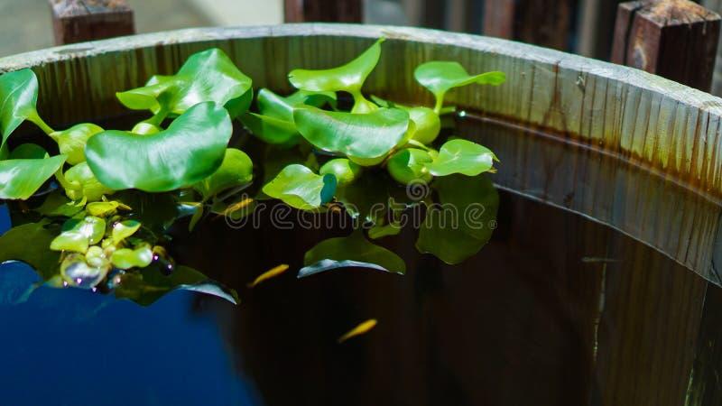 Waterhyacint stock afbeelding