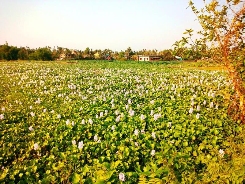 Waterhyacint in de vijver met witte fluitbloemen stock afbeelding